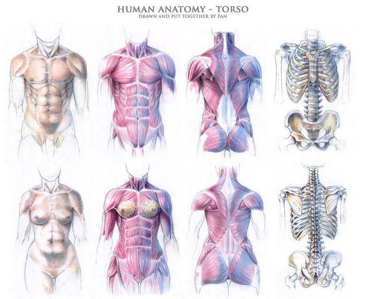 how to draw skeleton torso