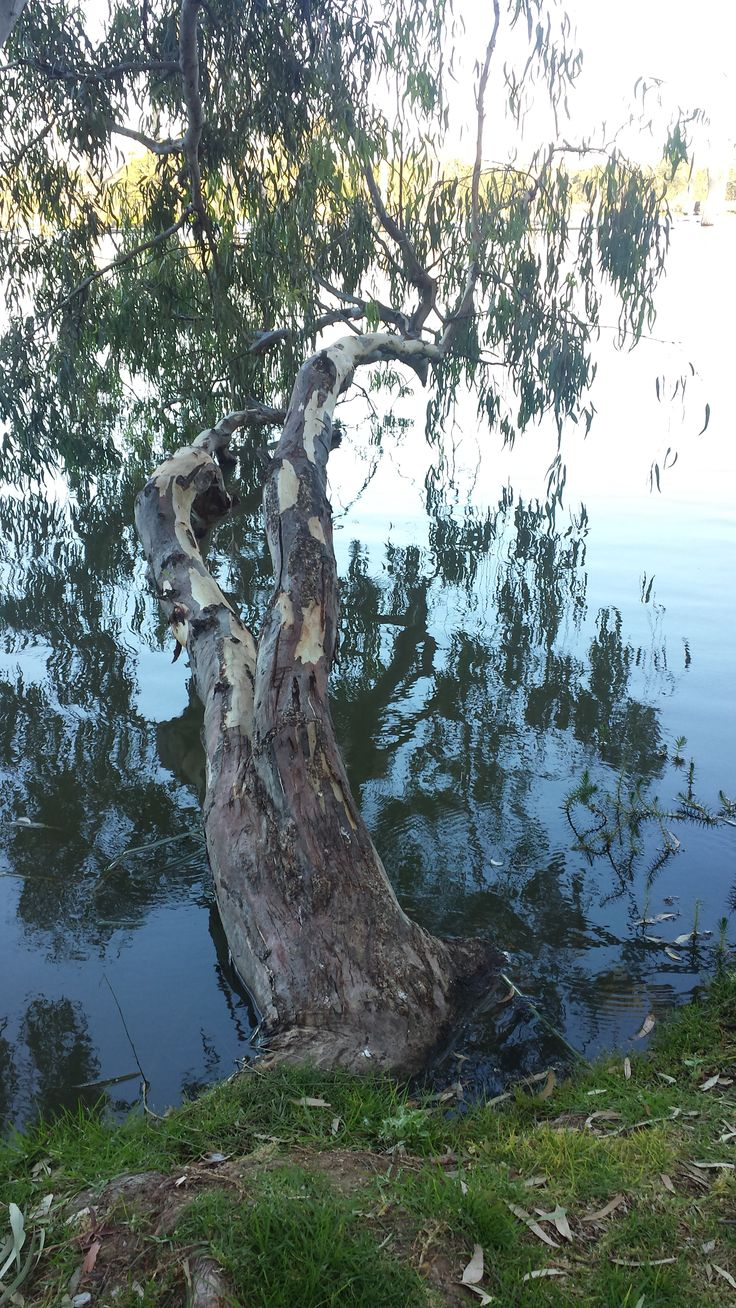 Probably River Red Gums, Murray River, Victoria (actually at Cohuna).
