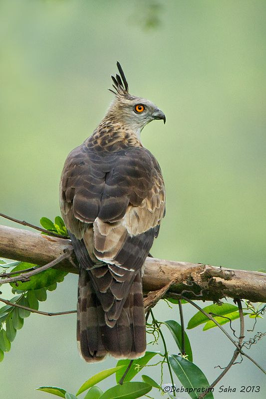 Jerdon's Baza is a moderate sized brown hawk with a thin white-tipped black crest usually held erect. It is found in South-east Asia. It inhabits foothills in the terai