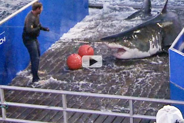 The shark, named Mary Lee, was tagged off of Cape Cod, MA in 2012 by nonprofit research group OCEARCH. Her tracker's radio ping caught the 3,456 pound (1,568kg) animal navigating the waters off of Jones Beach in New York in May 2015.