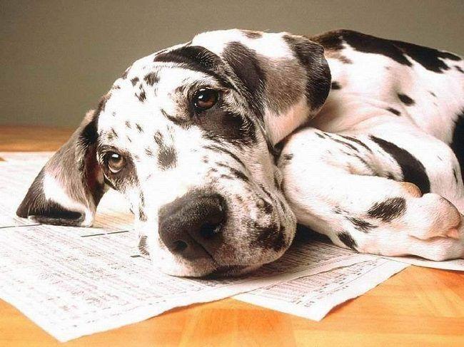 17 Best ideas about Great Dane Names on Pinterest | Blue great ...
