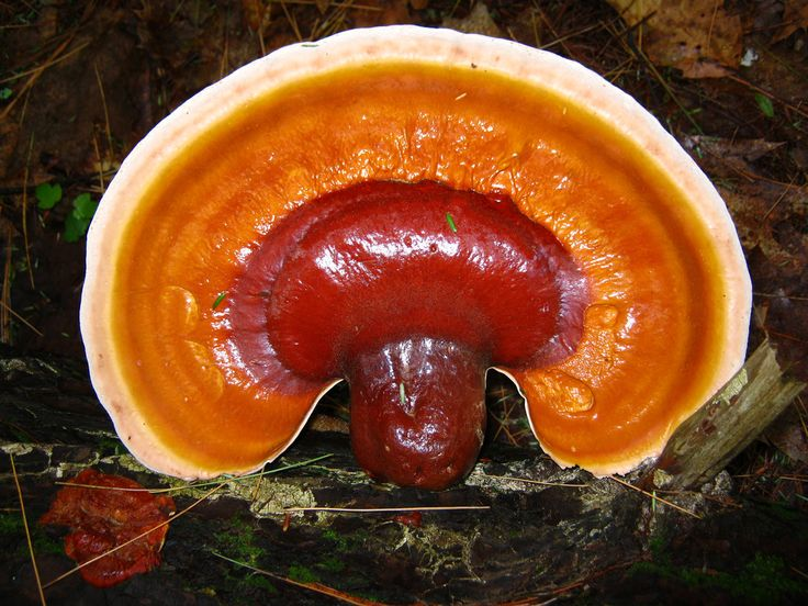 https://flic.kr/p/bhJaMM | Red Reishi