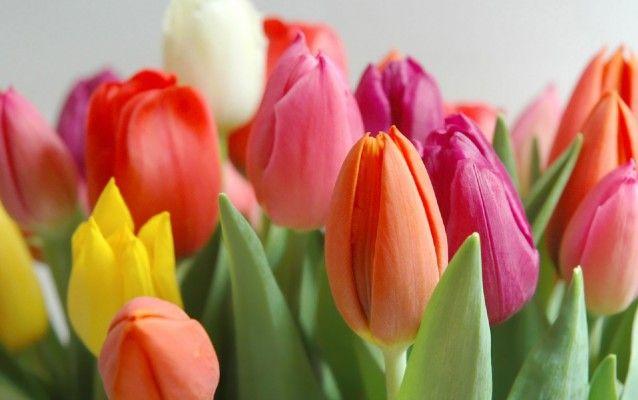 Tulipán Zahradní