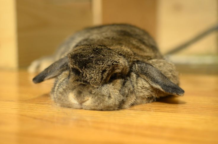 and i shall call you pancakesFluffy Bunnies, Beautiful Bunnies, Bunnies Photos, Daily Bunnies, Flats Bunnies, Bunnies Rabbit, Sleepy Bunnies, Animal, Bunnies Relaxing