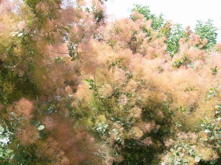 Cotinus coggygria smoketree Anacardiaceae