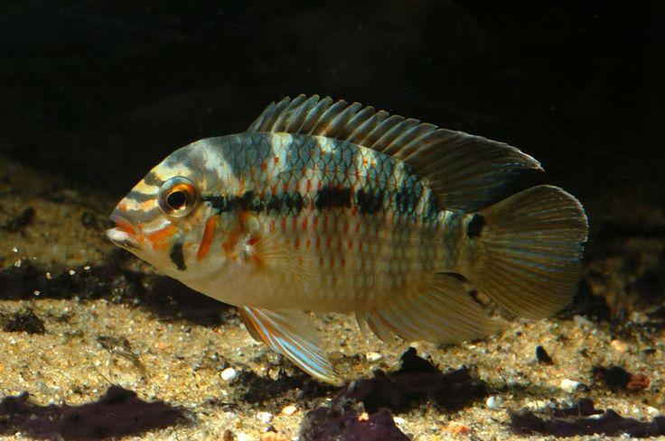 Krobia Sp Xingu Aquarium Fish Freshwater Saltwater Fish Sea