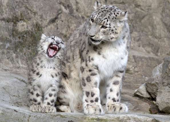 Snow Leopard Babies in Zurich: A peck for Papi!