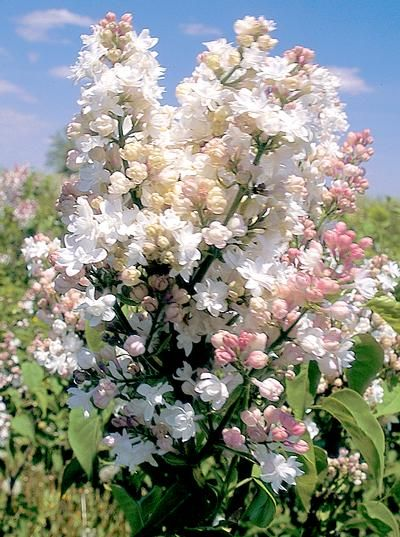 17 Best Images About Lilacs On Pinterest Trees Moscow