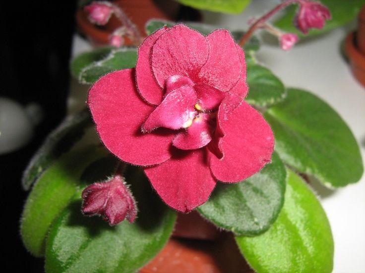 Mac's Resplendent Royalty (MacDonald) Полумахровые ярко-красные цветы.Ровная пестролистная розетка Полуминиатюрная фиалка