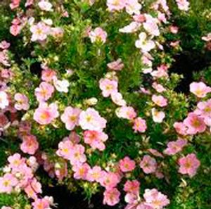 Pink Beauty Potentilla Potentilla fruticosa Pink Beauty from Zelenka Farms