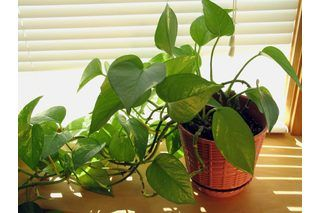 The Differences Between Golden Pothos and Heartleaf Philodendron | eHow