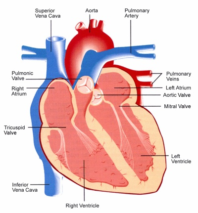 17 best ideas about diagram of the heart on pinterest | heart, Muscles