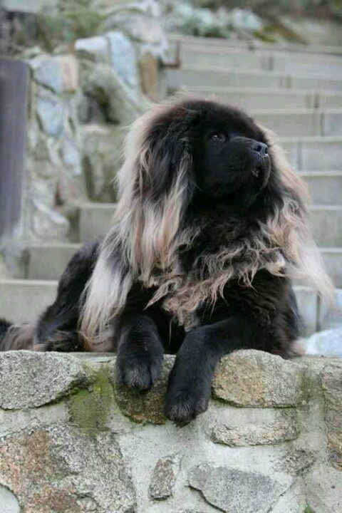Tibetan Mastiff dog dogs