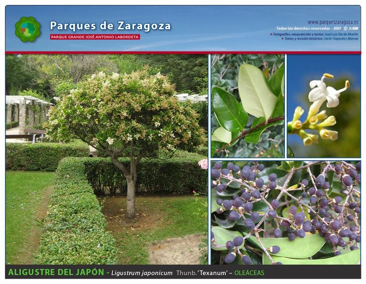 Aligustre del Japón - ligustrum japonicum - Oleáceas - Parque Grande Labordeta - Zaragoza.