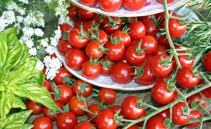 Die Tomate 'Philovita' ist hochtolerant gegen die Kraut- und Braunfäule (Phytophthora infestans) und somit auch bestens für den Anbau im Freiland geeignet