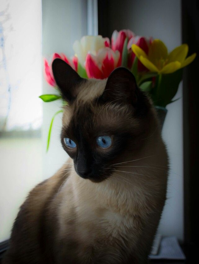Charlie. #cat #birman #thai #thaicats #thaicat #ilovemycat #siamese #nikon #nikon #nikond3100 #photography #mynikonlife #nikonlove #nikon_photography #nikonphoto_ #nikon_photographs #nikonista #nikonphoto#nikonphotography #nikon_photography_ #nikonromania #nikonisti#18140mm #nikontop