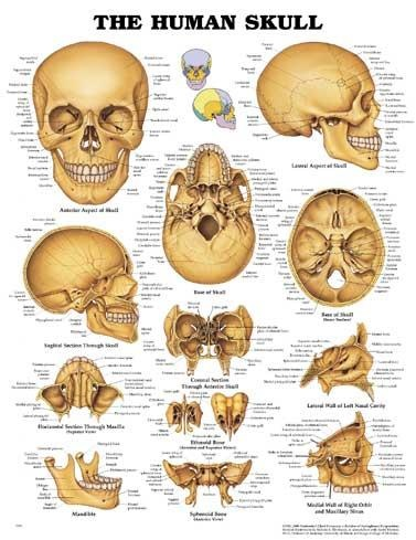 best 25+ bones of the body ideas on pinterest | body bones, human, Skeleton
