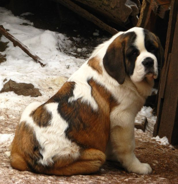 Dog Breed That Looks Like A Rug: 216 Best Images About St. Bernard On Pinterest
