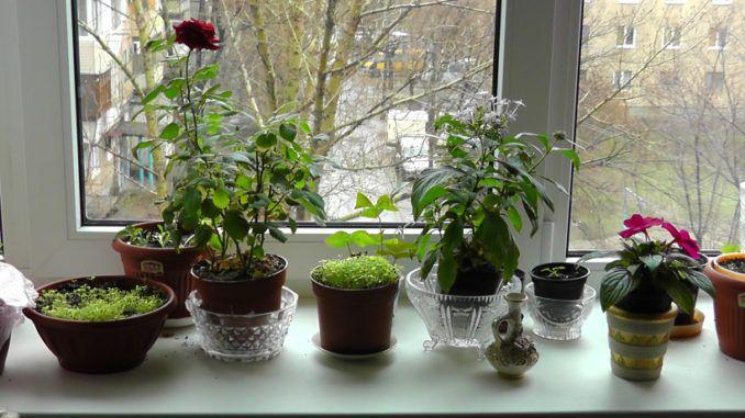 Плющ.Не стоит выращивать в своем доме данное растение, поскольку оно имеет свойство вытягивать из хозяев дома всю имеющуюся у них энергию. Кроме того, плющ негативно ... ЧИТАТЬ