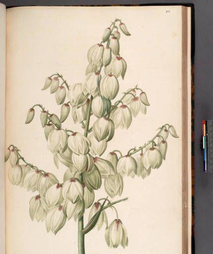 Yucca aloifalia :: Rare Books and Manuscripts Collection