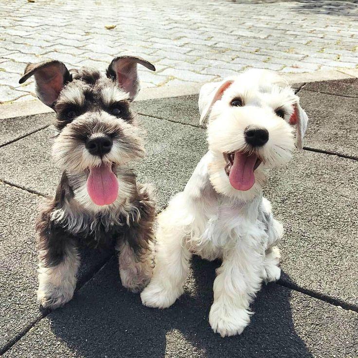 Schnauzer pals | cute puppies and dog training advice by @KaufmannsPuppy