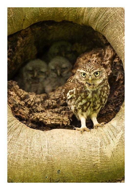 Owl family    by Jules CoxOwls Families, Birds Owls, Jules Cox, Cox Nature, Favorite, Bi Jules, Families Bi, Lov Owls