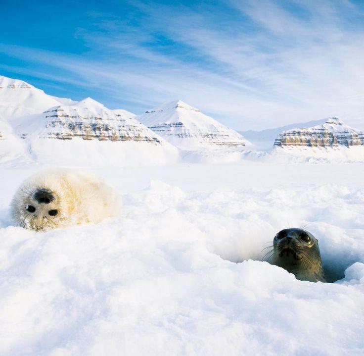 Im Vergleich zu anderen Lebensräumen unserer Erde haben sich in der Arktis nur wenig Säugetiere angesiedelt. Neben Moschusochsen, Polarfüchsen, Walen und wenigen weiteren Spezies sind Robben im Eis zu Hause. Diese Ringelrobben gehören zu den am häufigsten vorkommenden Arten in der Arktis. Fotograf Florian Schneider gelang diese Aufnahme einer Mutter und seines Jungen auf Spitzbergen – einer Inselgruppe, die zu Norwegen zählt und 400 Kilometer von der Küste entfernt zwischen Europa und dem…