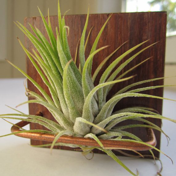 29 best images about air plants on pinterest wall mount for Air plant wall hanger