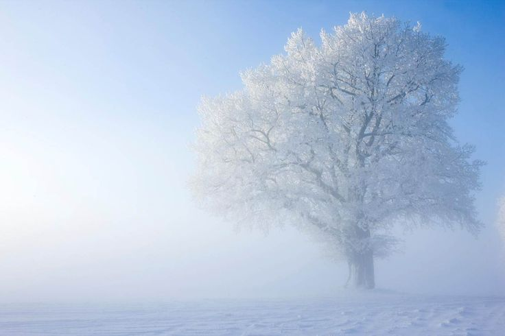 Our oak on a magic winter day, photographed by my friend Lisa Nestorson