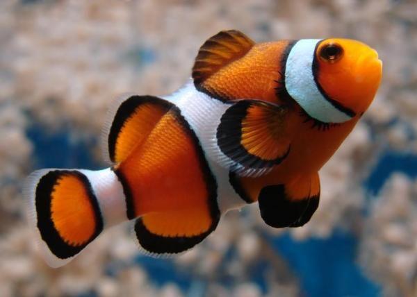 Como cuidar de um peixe palhaço