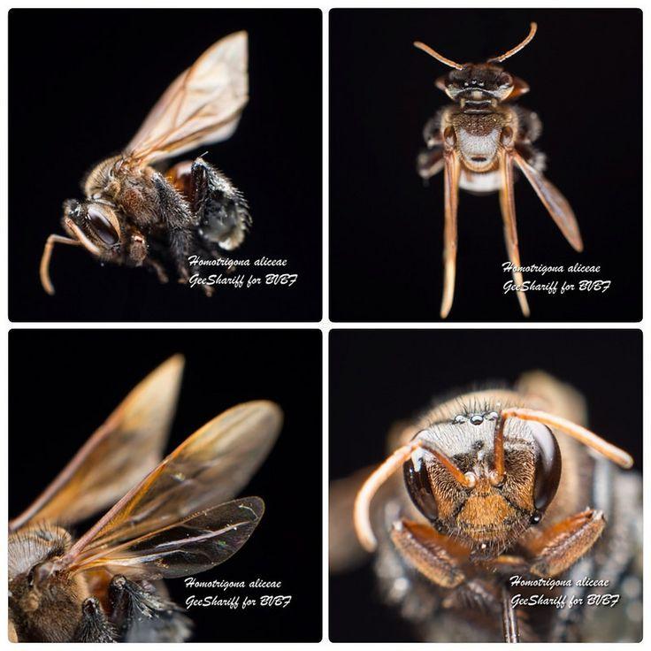 Homotrigona aliceae - Meliponine / Stingless Bee / Kelulut | by Geeshariff