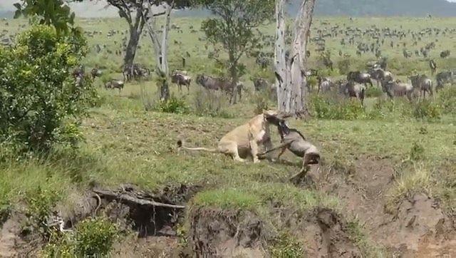 بدر سكارفيس Wildlife Nature On Instagram مذهل اللبوة تداهم هجرة حيوانات النو وتصطاد بسهولة Repost Elewanacollection No Horses Animals Kangaroo