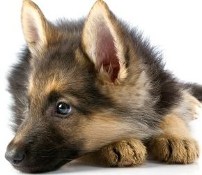German Shepard puppy with those eyes.
