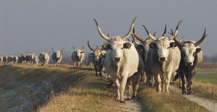 Hungarian Grey cattle - Fertő-Hanság National Park, Hungary - Fertő-Hanság Nemzeti Park - A Fertő-tó növény- és állatvilág - magyar szürke