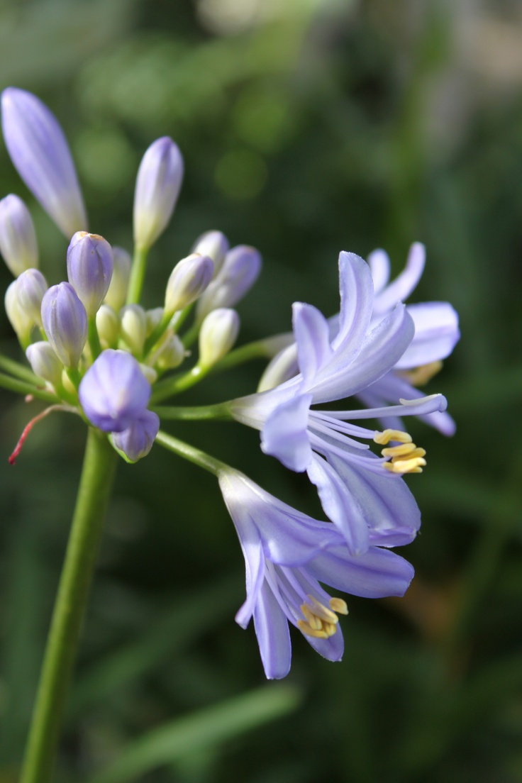 56 best flowers the bruce company images on pinterest backyard baby pete lily of the nile agapanthus compact annual with masses of blue izmirmasajfo Images