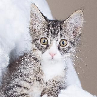 Meet MICKEY, an adoptable Domestic Medium Hair looking for a forever home. If you're looking for a new pet to adopt or want information on how to get involved with adoptable pets, Petfinder.com is a great resource.