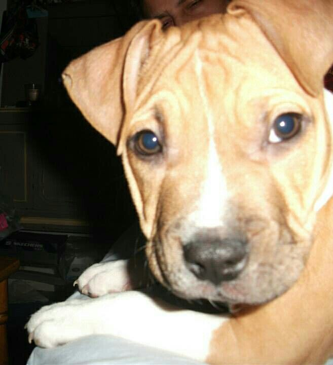 Pin by Elaine G on Pit Bulls...Introducing, The Intellectual Pit.... Puppy Joe | Pinterest | Puppies, Pitbulls and Funny pictures