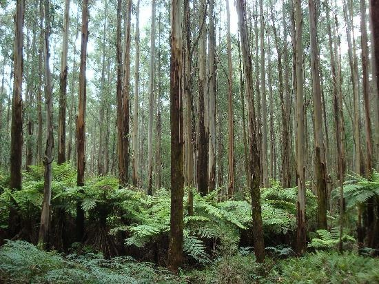 Sherbrooke Forest Victoria