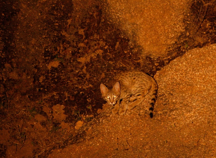 Asiatic wildcat (Felis silvestris ornata)