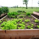 More veggie container gardening from Ree..