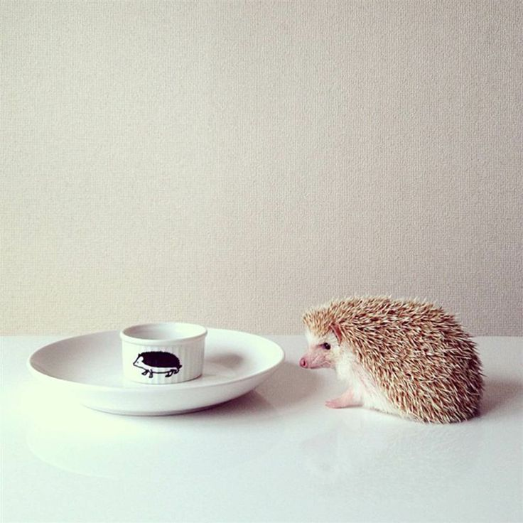 Best Igel Photos Home Images On Pinterest Baby Animals - Darcy cutest hedgehog ever