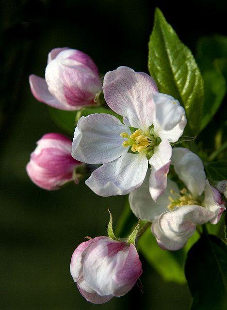 pagewoman:  Apple Blossom TimebyTheresa ElvinonFlickr