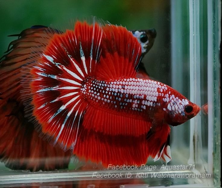 26 best images about betta fish on pinterest betta fish for Toys for betta fish