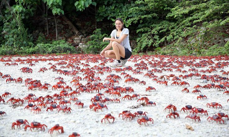 Christmas Island's Red Crabs: Each year an estimated 43 million land crabs migrate to lay their eggs in the ocean. Natural Phenomena