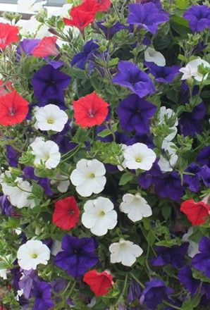 Patriotic petunia flowers which fly the flag for Great Britain. Adding a splash of colour to the garden. If you want your garden to take on a patriotic feel ready for the summer, then our Surfinia trailing petunias will certainly hit the spot!