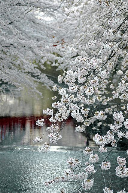 Taken along Meguro River in Tokyo during cherry blossom season. The red reflection is of a footbridge over the river.: Photos, Cherries Blossoms, White Flowers, Tokyo Japan, Beautiful, Rivers T-Shirt, Meguro Rivers, Places, Snow White