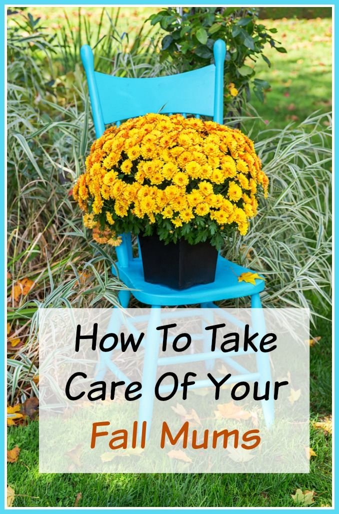 Did you pick up some mums for your fall decor?  To make sure that they grow well and look their best be sure to check out these tips on How To Take Care of Your Mums ( both Indoors and Out). | Fall Gardening | Fall Home Decor
