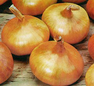 Giant Zittau Onion,Giant Zittau Onion seed,Giant Zittau seed-heirloom - untreated - sustainable - vegetable seeds - Bountiful Gardens