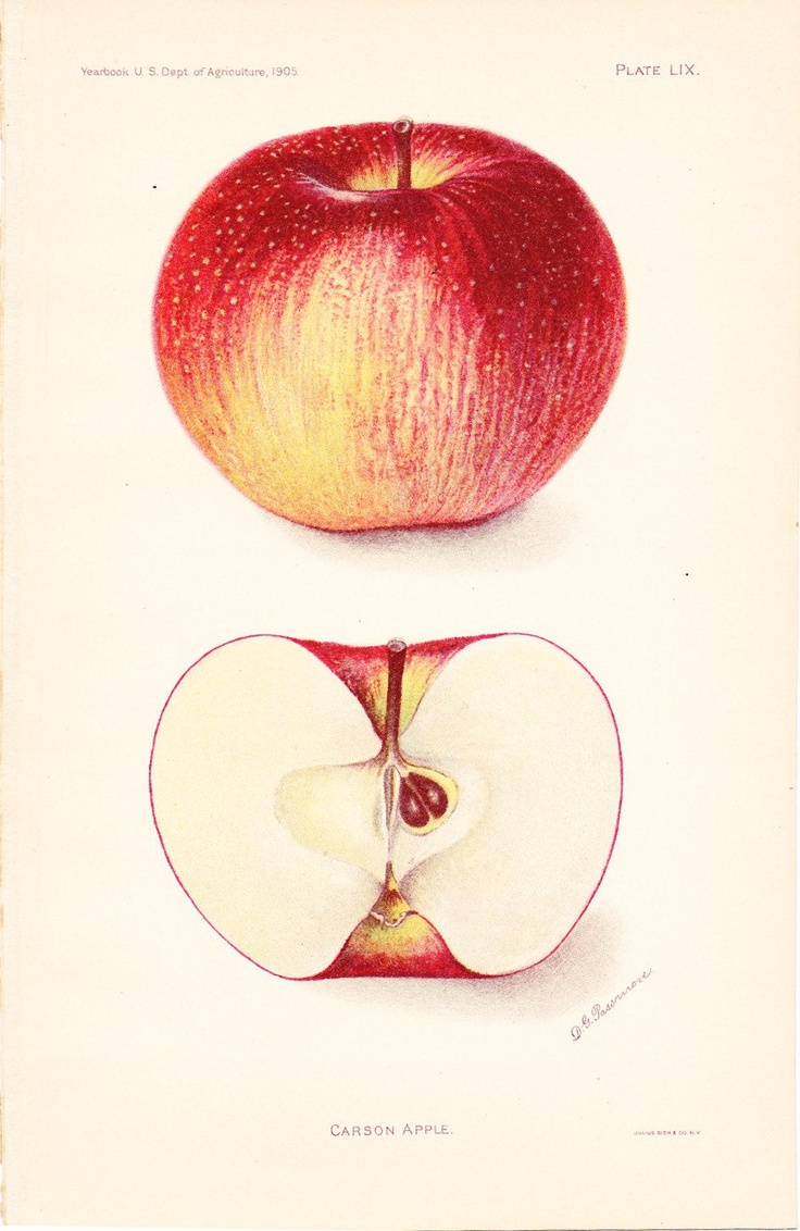 1905 Fruit Print - Carson Apple - Vintage Home Kitchen Food Decor Plant Art Illustration Great for Framing 100 Years Old. $12.00, via Etsy.