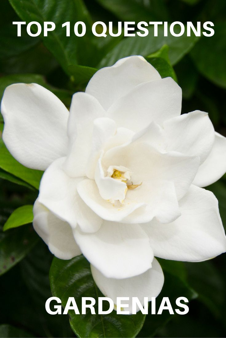 How to plant a gardenia - Top 10 Questions About Gardenias